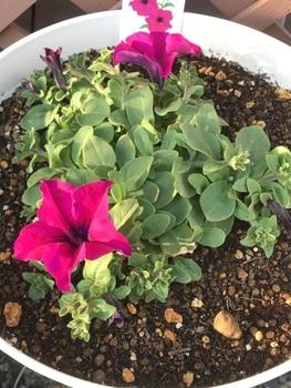 サフィニア パープルをたーくさん咲かせたい❣️その2 開花です😊