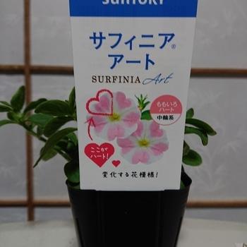はじめてのサフィニアを鉢にいっぱいに咲かせるチャレンジ
