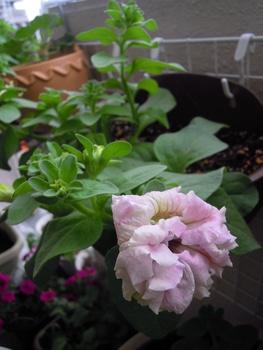 未知の世界へチャレンジ~こんな小さな種を見るのも初めてです 開花1号です蕾がピンクに成ってきました