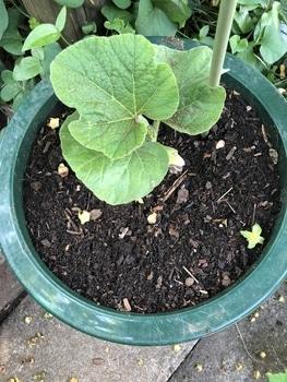 大きい花を咲かせよう大だるまひょうたんチャレンジ!!【催芽まき】 大きな鉢に植え替える