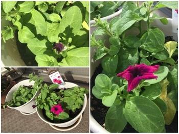 ようこそ我が家へ 蕾からあっという間に開花