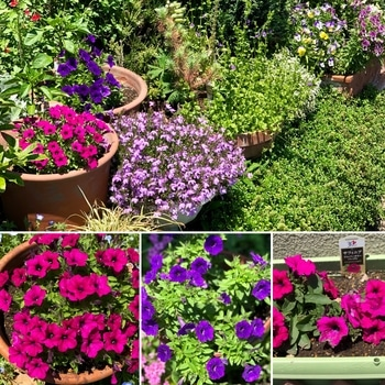 「職場の花壇」花色作戦 職場の花壇 花色作戦 良好です!