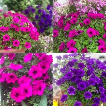 「職場の花壇」花色作戦 職場の花壇 花色作戦 ますます良好!