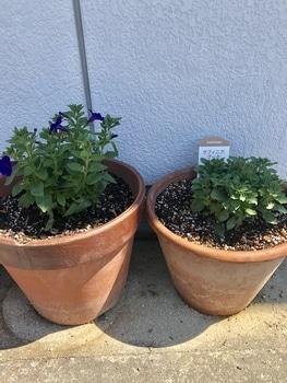 「職場の花壇」花色作戦 小花のサフィニアもかわいい!