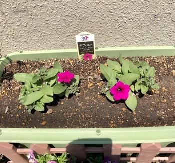 「職場の花壇」花色作戦 今年はサフィニアに挑戦2