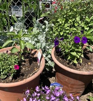 「職場の花壇」花色作戦 小花のサフィニアもかわいい2