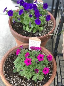 「職場の花壇」花色作戦 小花のサフィニアもかわいい3
