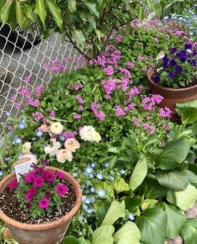 「職場の花壇」花色作戦 小花のサフィニアもかわいい4