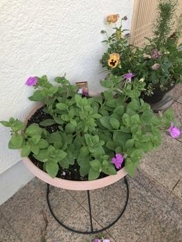 40センチ丸型プランターあふれる花を咲かせます 順調に生育しています