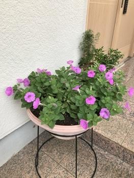 40センチ丸型プランターあふれる花を咲かせます 花数が増えてきました