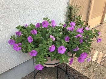 40センチ丸型プランターあふれる花を咲かせます 花数が今ひとつ増えません