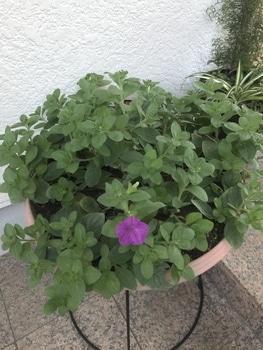 40センチ丸型プランターあふれる花を咲かせます 切り戻し後の1番花が開花