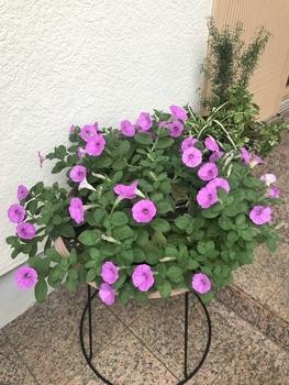 40センチ丸型プランターあふれる花を咲かせます 切り戻し前の花数に復活!!
