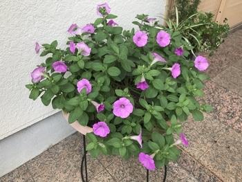 40センチ丸型プランターあふれる花を咲かせます 連日の梅雨空で花数が大幅減