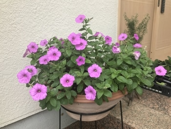 40センチ丸型プランターあふれる花を咲かせます 陽射しが欲しい!!