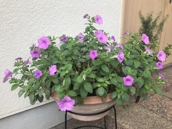 40センチ丸型プランターあふれる花を咲かせます 梅雨明け後の花姿に期待!!