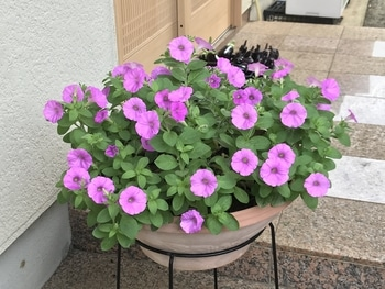 40センチ丸型プランターあふれる花を咲かせます 花数50の最大時の花姿