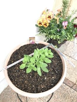 40センチ丸型プランターあふれる花を咲かせます 新緑の5月、活発な生育を期待