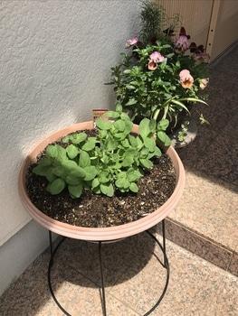 40センチ丸型プランターあふれる花を咲かせます 株が見る見る大きくなりました