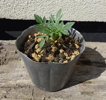 夏花壇の鮮やかな彩り、マリーゴールド 鉢増し