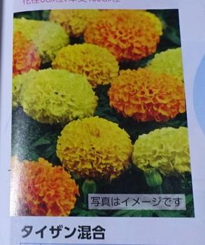 夏花壇の鮮やかな彩り、マリーゴールド