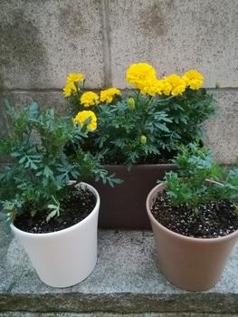 【リベンジ】種からマリーゴールド【ボナンザ イエロー】 定植してから1週間経過