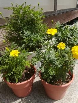 【リベンジ】種からマリーゴールド【ボナンザ イエロー】 たぶん咲かない