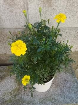 【リベンジ】種からマリーゴールド【ボナンザ イエロー】 花チャレ終了