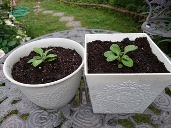 小さい種からペチュニアを育てたい。 定植しました。