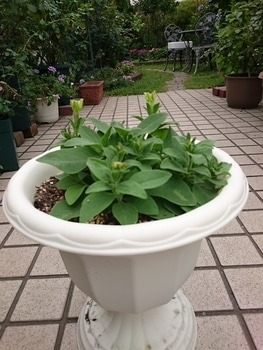小さい種からペチュニアを育てたい。 脇芽が伸びて、蕾も膨らんできました。