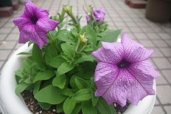 小さい種からペチュニアを育てたい。 初めての花が咲きました。