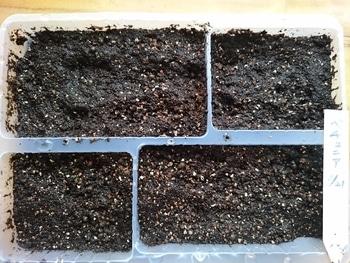 小さい種からペチュニアを育てたい。 種まきしました。