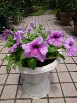 小さい種からペチュニアを育てたい。 大雨が続きましたが元気です‼️