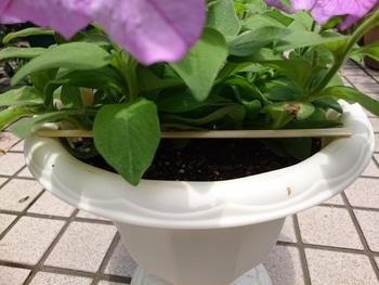 小さい種からペチュニアを育てたい。 蒸れないために