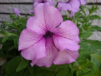 小さい種からペチュニアを育てたい。 花をアップで