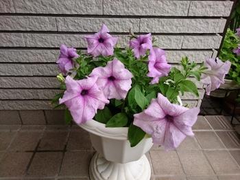 小さい種からペチュニアを育てたい。 花チャレンジ終了します。