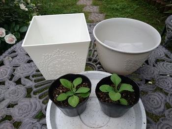 小さい種からペチュニアを育てたい。 定植の準備