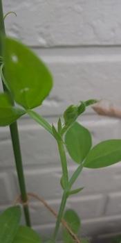 🎵赤いスイートピー世代による 種からチャレンジ スイートピー きれいな葉になりました