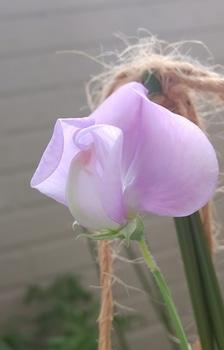 🎵赤いスイートピー世代による 種からチャレンジ スイートピー 完全な開花とは?