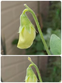 🎵赤いスイートピー世代による 種からチャレンジ スイートピー 2番目の花、間に合いそう❗️