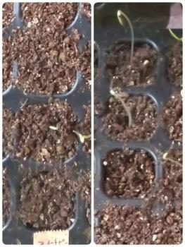 🎵赤いスイートピー世代による 種からチャレンジ スイートピー 発芽確認❗️