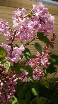 成長記録 紫ライラック いよいよ開花!