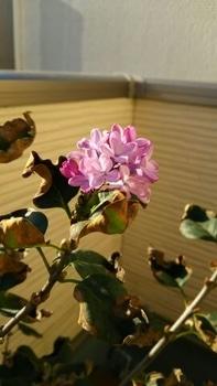 成長記録 紫ライラック 追記1