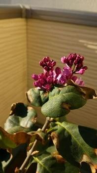 成長記録 紫ライラック 追記2
