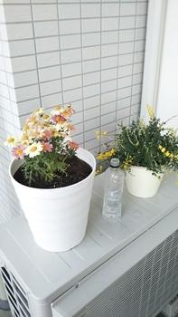 ボンザマーガレットをでっかく咲かせるチャレンジ! 植え付け完了!