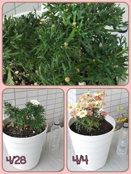 ボンザマーガレットをでっかく咲かせるチャレンジ! 少し成長したかな?