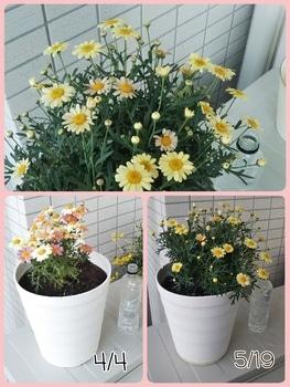 ボンザマーガレットをでっかく咲かせるチャレンジ! 花がたくさん!