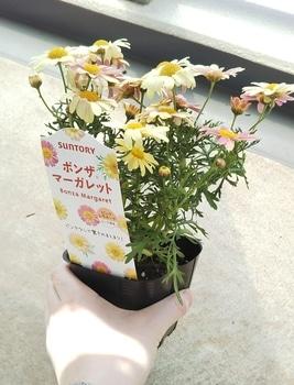 ボンザマーガレットをでっかく咲かせるチャレンジ!