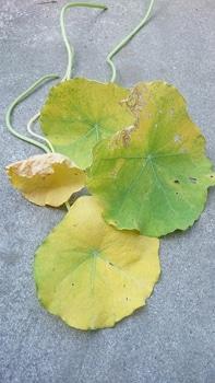 キンレンカを育てる!\(^^)/ 虫食い、変色の🍃葉っぱ、