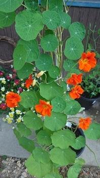 キンレンカを育てる!\(^^)/ 花の色が濃く綺麗になりました!